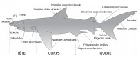 "Poissons : anatomie d'un requin (tête, corps, queue, nageoires, etc.). (fichier Wikimedia Commons : ""Parts_of_a_shark_fr.svg"") (domaine public) Fbattail, 2007"