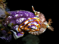 "<em>Nembrotha lineolata,</em> nudibranche (Polyceridae) pondant ses oeufs en spirale sur l'ascidie Styelidae <em>Polycarpa aurata</em>, au Timor oriental. (fich. : ""Seasquirt.jpg"")&nbsp; (https://creativecommons.org/licenses/by-sa/3.0//deed.fr) Hobgood Nick, juillet 2004 - licence CC-BY-SA 3.0"