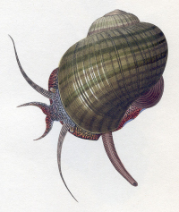 "<em>Pomacea paludosa, </em>dessin. (fichier Commons : ""505px-Pomacea_paludosa_drawing"") (domaine public) Lawson Helen, in A monograph of the freshwater univalve Mollusca of the United States, 1845"