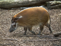 "Potamochère roux, Potamochoerus porcus. (fichier Commons : ""800px-Laufendes_Pinselohrschwein_Zoo_Landau"") - licence CC-BY-SA 3.0 (https://creativecommons.org/licenses/by-sa/3.0/) 4028mdk09, 2011"