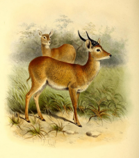 "Puku. (fichier Commons : ""526px-The_book_of_antelopes_(1894)_Cobus_vardoni"") (domaine public) Sclater Phillip Lutley, 1829-1913, The Book of Antelopes, 1894"