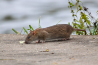 "Rat d'égout. (fichier Commons : ""Co-swand-09-12"") - licence CC-BY-SA 3.0 (https://creativecommons.org/licenses/by-sa/3.0/) Hellwig Hans-Jörg, 2009"
