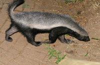 "Ratel. (fichier Commons : ""800px-Honey_Badger_(Mellivora_capensis)_(17181070118)"") - licence CC-BY-SA 2.0 (https://creativecommons.org/licenses/by-sa/2.0/) Dupont Bernard, France, 2015"