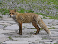 "Renard roux. (fichier Commons : ""菅野温泉(かんのおんせん)玄関のキタキツネP6270365"") - licence CC-BY-SA 1.0 à 3.0 (https://creativecommons.org/licenses/by-sa/3.0/) Snake Head 1995, 2006"
