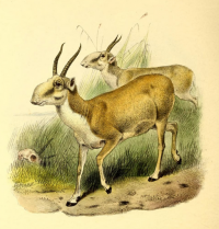 "Saïga. (fichier Commons : ""The_book_of_antelopes_(1894)_Saiga_tatarica"") (domaine public) Sclater Phillip Lutley, 1829-1913, The Book of Antelopes, 1894"