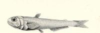 "<em>Scopelarchus guentheri</em> (Scopelarchidae), de la mer Arabique. In Freshwater and Marine Image Bank, University of Washington (fich : ""FMIB_45463_Scopelarchus_guentheri,_from_the_Arabian_Sea,_947_fathoms;_a_curious_generalised_Scopeloid"") Alcock Alfred William (1859–1933), 1902 (domaine public)"
