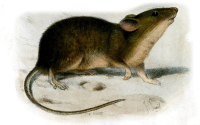 "Souris domestique. (fichier Commons : ""800px-MusMuralisSmit"") (domaine public) Smit Joseph (1836–1929), Proc. of the Zool. Society of London, 1899"