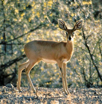 "Steenbok, <em>Raphicerus campestris</em>. (fichier Commons : ""588px-Steenbok_Namibia"") - licence CC-BY-SA 3.0 (https://creativecommons.org/licenses/by-sa/3.0/) Schoch Thomas, 2003"