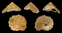 "<em>Xenophora crispa,</em> fossile. (fichier Commons : ""800px-Xenophora_crispa_01"") - licence CC-BY-SA 3.0 (https://creativecommons.org/licenses/by-sa/3.0/) Zell H., 2012"