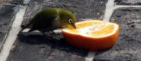 "Un zostérops du Japon (<em>Zosterops japonicus</em>) qui picore une orange. (fichier Wikimedia Commons : ""Japanese_White_Eye_kyushu_1"") - licence CC-BY-SA 3.0 (https://creativecommons.org/licenses/by-sa/3.0/) Chris 73, mars 2007"
