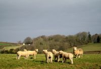 "Agneaux de un an (hoggets) et brebis, vers Penn Lane. (fichier Wikimedia Commons : ""Hoggets_and_a_ewe_-_geograph.org.uk_-_1197492"") - licence CC-BY-SA 2.0 (https://creativecommons.org/licenses/by-sa/2.0//deed.fr) Smith Sarah, 10 mars 2009"