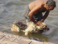 "Bain d'un chien. (fichier Commons : ""Trichy_029"") - licence CC-BY-SA 3.0 (https://creativecommons.org/licenses/by-sa/3.0/) Ilasun, 2011"