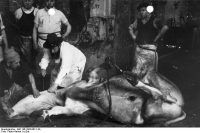 "Abattage bovin rituel juif (saignée complète, en une fois, etc.) pour obtenir une viande cachère. (fichier Commons : ""Bundesarchiv_Bild_146-1983-097-14A,_Schächtung"") - licence CC-BY-SA 3.0 (https://creativecommons.org/licenses/by-sa/3.0/) Bundesarchiv, Bild 146-1983-097-14A / Photo-Harren, 2008"