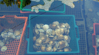 "Huîtres<em> (Ostrea edulis) </em>dans une claire à Belon, Bretagne, France. (fichier Wikimedia Commons : ""Oysters_in_a_claire_at_Belon"") - licence CC-BY-SA 3.0 (https://creativecommons.org/licenses/by-sa/3.0//deed.fr) Gugerell Peter, oct. 2005"