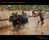 "Kaambala, course de buffles traditionnelle en Inde. (fichier Wikimedia Commons : ""Pilikula_Kambala,_Mangalore"") - licence CC-BY-SA 2.0 (https://creativecommons.org/licenses/by-sa/2.0//deed.fr) Kumar Anoop, 2011"