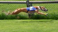 "Course de lévrier. (fichier Wikimedia Commons : ""Greyhound_Racing_2_amk"") - licence CC-BY-SA 3.0 (https://creativecommons.org/licenses/by-sa/3.0//deed.fr) AngMoKio, 2008"