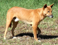 "Dingo, chien sauvage, Australie. (fichier Commons : ""Dingo_Side"") - licence CC-BY-SA 3.0 (https://creativecommons.org/licenses/by-sa/3.0/) Quartl, 2009"