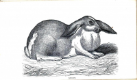 "Un lapin à oreilles tombantes avec un large fanon. (fichier Wikimedia Commons : ""Rabbit_-_Oar_Lop_Oar-Lop_Lop-Eared_Lop_Eared_-_1862_-_London_Journal_of_Horticulture"") (domaine public) London Journal of Horticulture, vers1862"