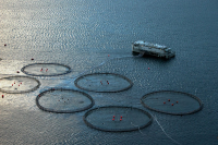 "Mariculture de saumons, Iles Faroe, Danemark. (fichier Wikimedia Commons : ""Færøsk_havbrug.1"") - licence CC-BY-SA 3.0 (https://creativecommons.org/licenses/by-sa/3.0//deed.fr) Christensen Erik, 2004"