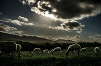 "Moutons pâturant en Sicile. (fichier Wikimedia Commons : ""Sheep_(122483439).jpeg"") - licence CC-BY-SA 3.0 (https://creativecommons.org/licenses/by-sa/3.0//deed.fr) Li Moli Stefano, décembre 2011"