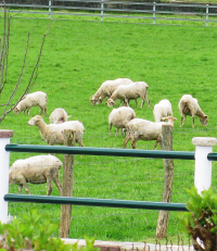 "Troupeau de moutons Petite Manech = Xaxi Ardia. (fichier Wikimedia Commons : ""Souraide_-_Troupeau_de_Xaxi_Ardia"") - licence CC-BY-SA 4.0 (https://creativecommons.org/licenses/by-sa/4.0/) Casamance Marianne, 17 avril 2016"