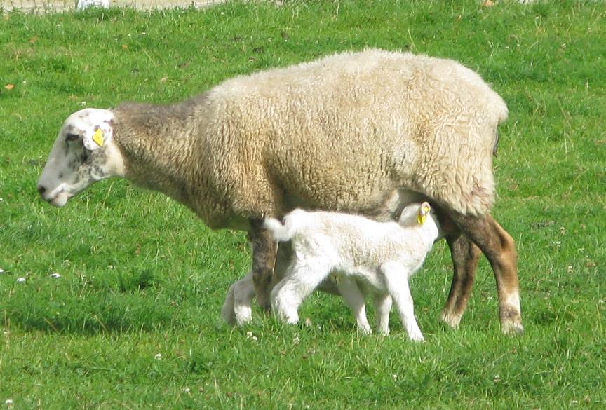 lait de mouton