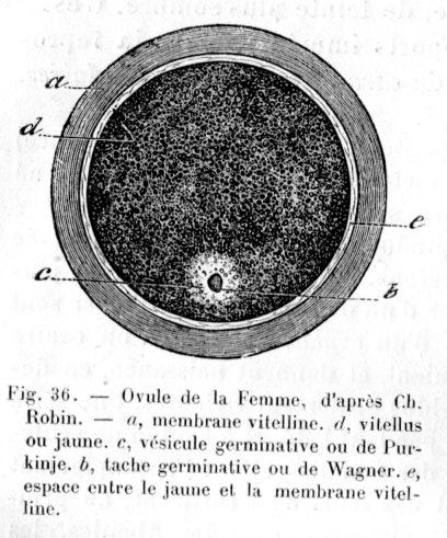 un ovule ou une ovule