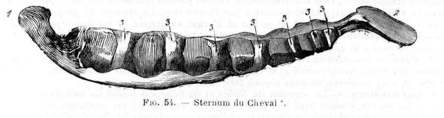 sternum