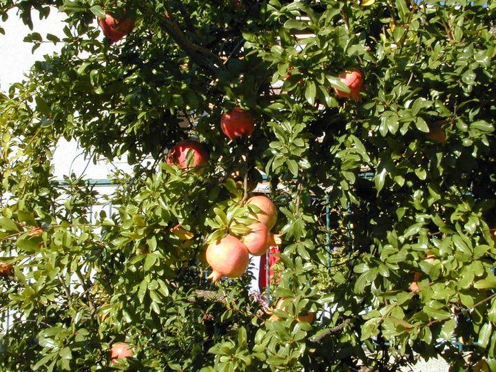 Grenadier arbre dictionnaire des sciences animales - Arbre ver a soie ...