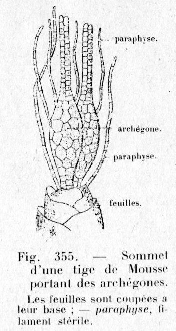 paraphyse