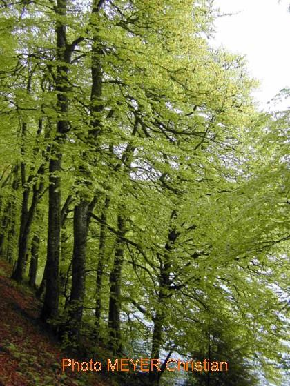 Hetre Bois Dur Ou Tendre : h?tre – Dictionnaire des Sciences Animales