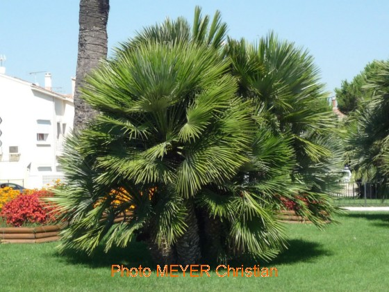 Palmier nain for Conseil de jardinage