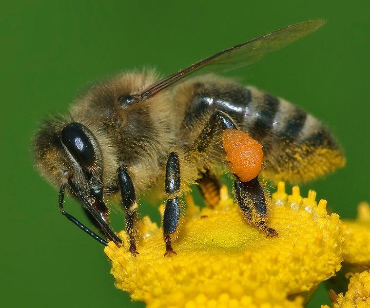 abeille dictionnaire des sciences animales. Black Bedroom Furniture Sets. Home Design Ideas