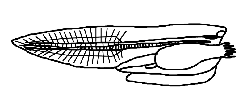 details of urochordata Chordata 1 pengertian chordata chordata berasal dari bahasa yunani chordata berarti tali jadi, chordata berarti hewan yang mempunyai chorda di bagian.