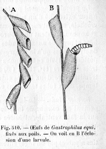 gastrophiles