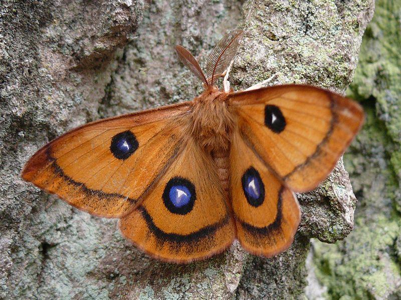 papillon antennes plumeuses