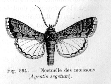 Noctuelle des moissons dictionnaire des sciences animales for Ver gris noctuelle