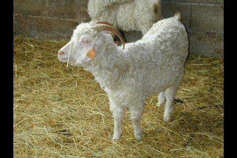 0450573f1798 Une chèvre Angora dans le Tarn, France. Meyer christian