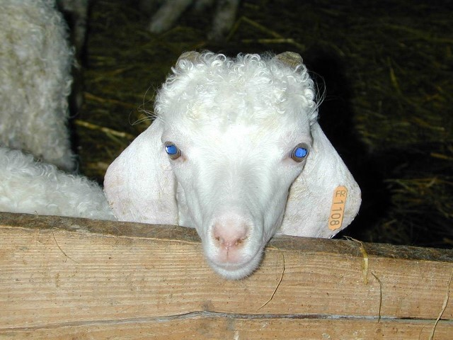 Une chèvre Angora dans le Tarn, France. Meyer christian 9f955789575