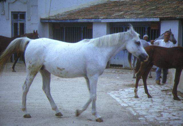 cheval arabe tunisien