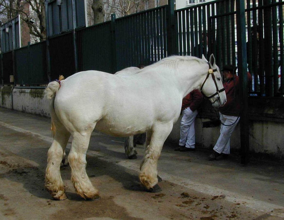 cheval de trait boulonnais
